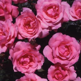 Special Mum - Standard Rose - 10 Litre