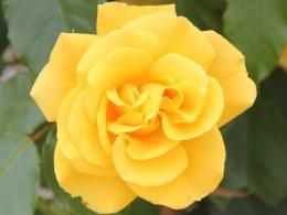 Precious Gold - Standard Rose - 10 Litre