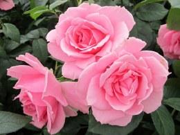 You're Beautiful Floribunda Rose - 5.5 Litre