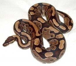 Royal Python Baby