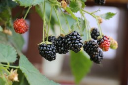 Blackberry Lowberry 'Little Black Prince' | Rubus 'Little Black Prince'