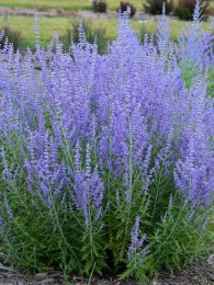 Russian Sage 'Lacey Blue' | Perovskia 'Lacey Blue'
