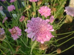 Scabiosa columbaria Pink Mist 2L - Looking Great