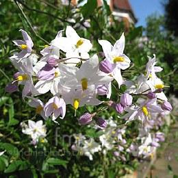Solanum Jasminoides Album - 3Ltr