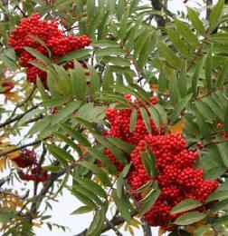 Sorbus aucuparia Sheerwater Seedling - 10Ltr