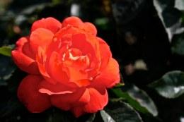 Super Trouper Floribunda Rose - 3 Litre