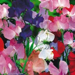 Sweet Pea bedding mix 10.5cm Pot