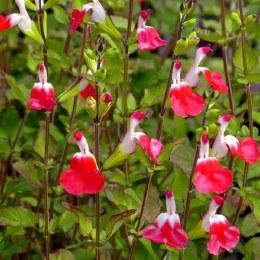 Salvia microphylla Hot Lips 2L