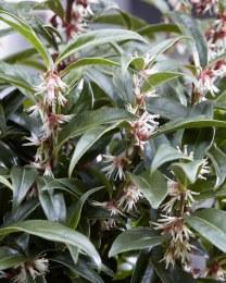 Sarcococca humilis 'Winter Gem'