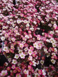 Saxifraga × arendsii 'Early Pink'