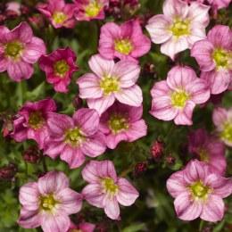 Saxifraga Alpino Pink