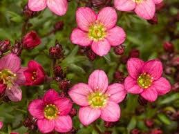 Saxifraga Touran Pink