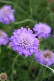Scabiosa 'Blue Butterfly'