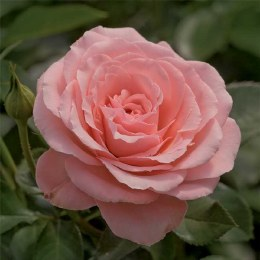 Sexy Rexy Floribunda Rose - 3 Litre