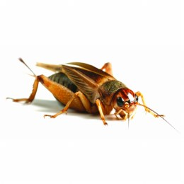 Silent Crickets Large (25-30mm)