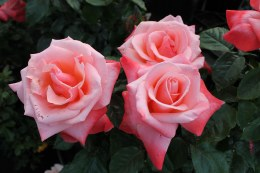 Silver Jubilee Hybrid Tea Rose - 3 Litre
