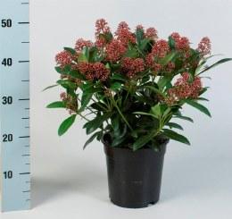 Skimmia japonica 'Rubella' 1.5 Litre