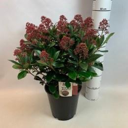 Skimmia japonica 'Rubella' 4 Litre