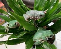 Snowflake Whites Tree Frog