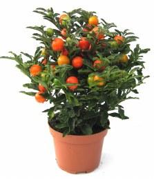 Solanum pseudocapsicum | Jerusalem Cherry 10.5cm Pot