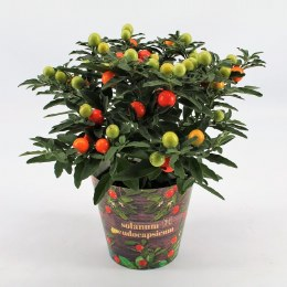 Solanum pseudocapsicum P12