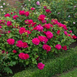 Sophy's Rose David Austin Fragrant Rose 6 Litre