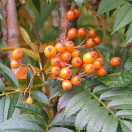 Sorbus aucuparia Autumn Spire Rowan Tree 10L