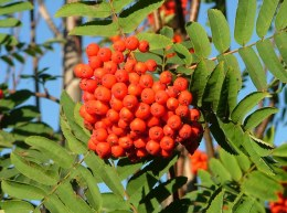 Sorbus wilfordii 10 litre
