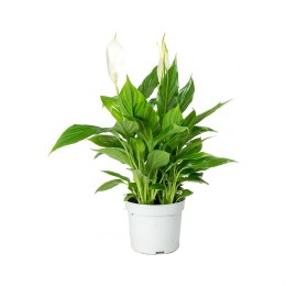 Spathiphyllum Sweet Bellini 13cm