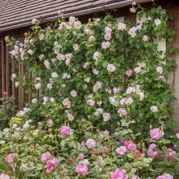 St Swithun David Austin Fragrant Climbing Rose 6 Litre on Trellis