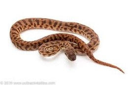 Python Stimson's