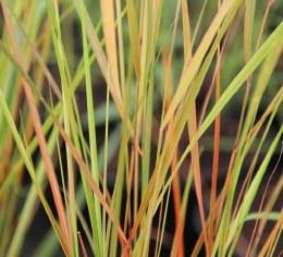 Stipa arundinacea - Phesant's Tail Grass