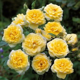 Summertime Climbing Rose 10 Litre