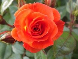 Sunseeker Patio Rose 3.5 Litre