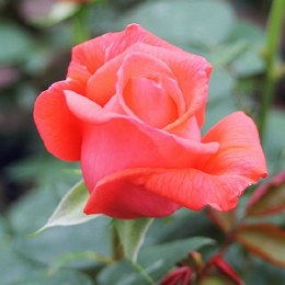 Superstar Hybrid Tea Rose 4.5 Litre