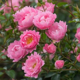 Surrey Ground Cover Rose 3 Litre