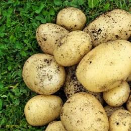 Swift Potato 10 pack - First Earlies