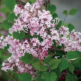 Syringa Josée | Dwarf Korean Lilac