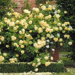 Teasing Georgia David Austin Rose - 4 Litre