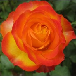 Tequila Sunrise Hybrid Tea Rose   - 3 Litre