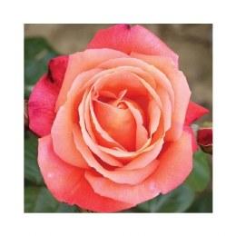 Troika Hybrid Tea Rose  - 3 Litre