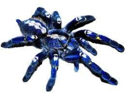 Tarantula Gooty Sapphire Ornamental