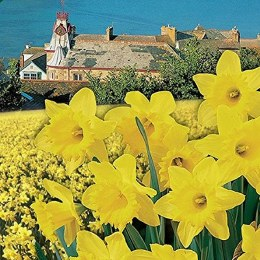 Daffodil - Narcissus 'Cornish Gold' - 2kg
