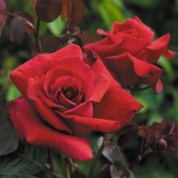 Thinking Of You Hybrid Tea Rose 5.5 Litre