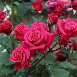Timeless Charisma Hybrid Tea Rose 3.5 Litre