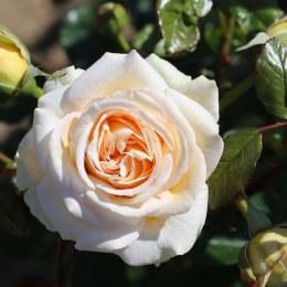 Timeless Cream Hybrid Tea Rose 3.5 Litre