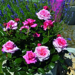 Timeless Pink Hybrid Tea Rose 3.5 Litre