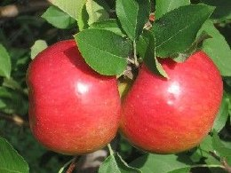 Apple 'Topaz' 2 Year Bush