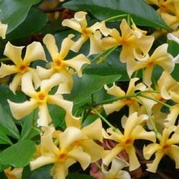 Trachelospermum jasminoides 'Star of Toscana' - Very Fragrant