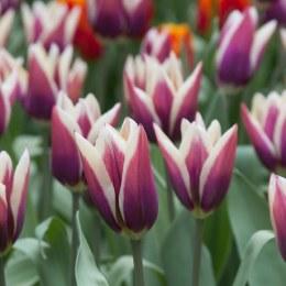 Tulip 'Chansonette'